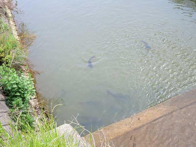 伊丹スカイパーク・鯉