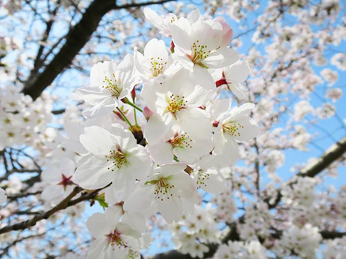 2015年 西宮の桜