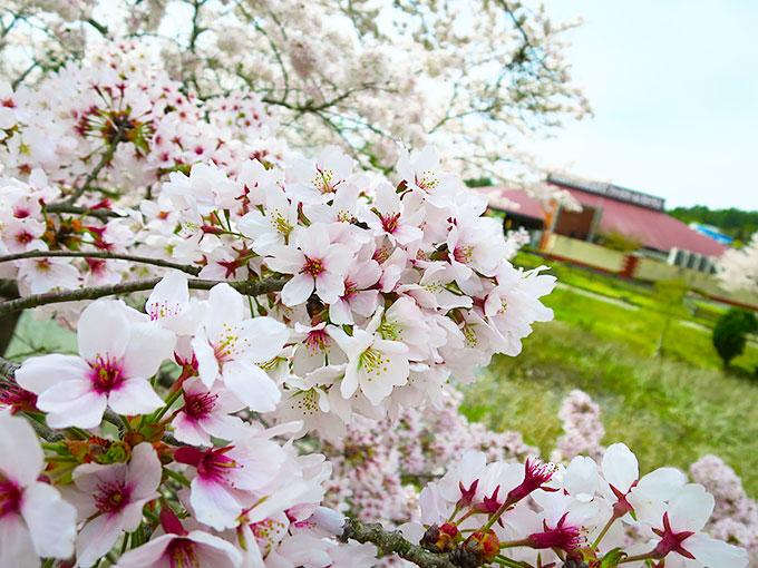 場内は綺麗な桜!!