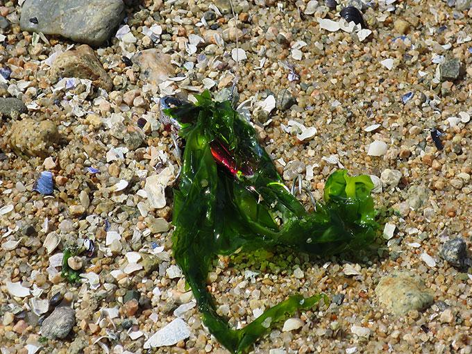 海藻が絡む