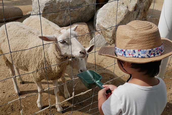 羊に餌をあげます
