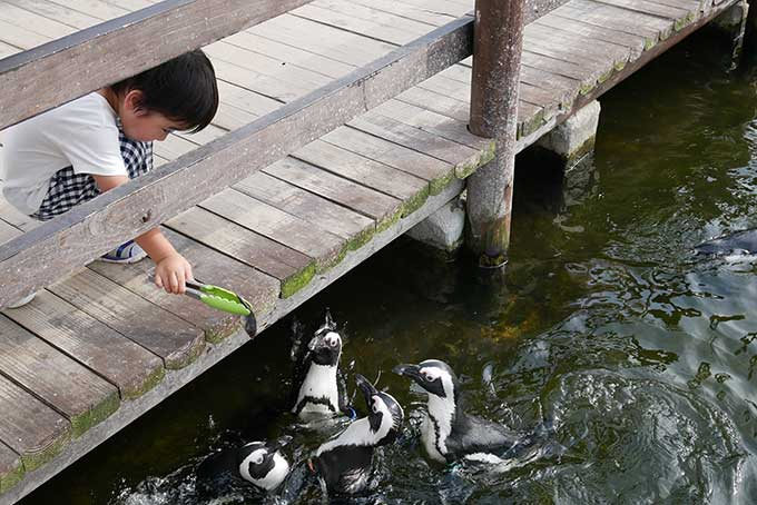 ペンギンが寄ってきます!!