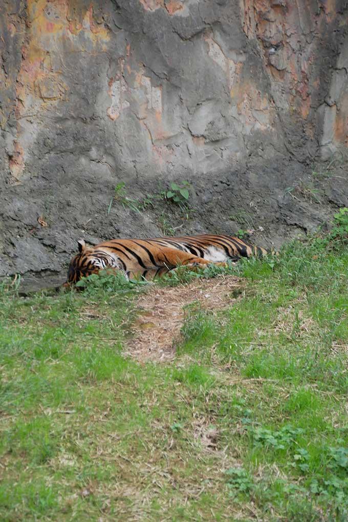 トラ、睡眠中