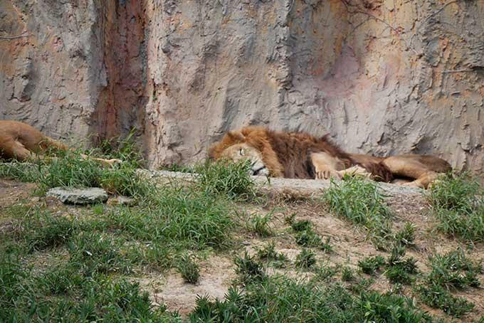 ライオン、爆睡中