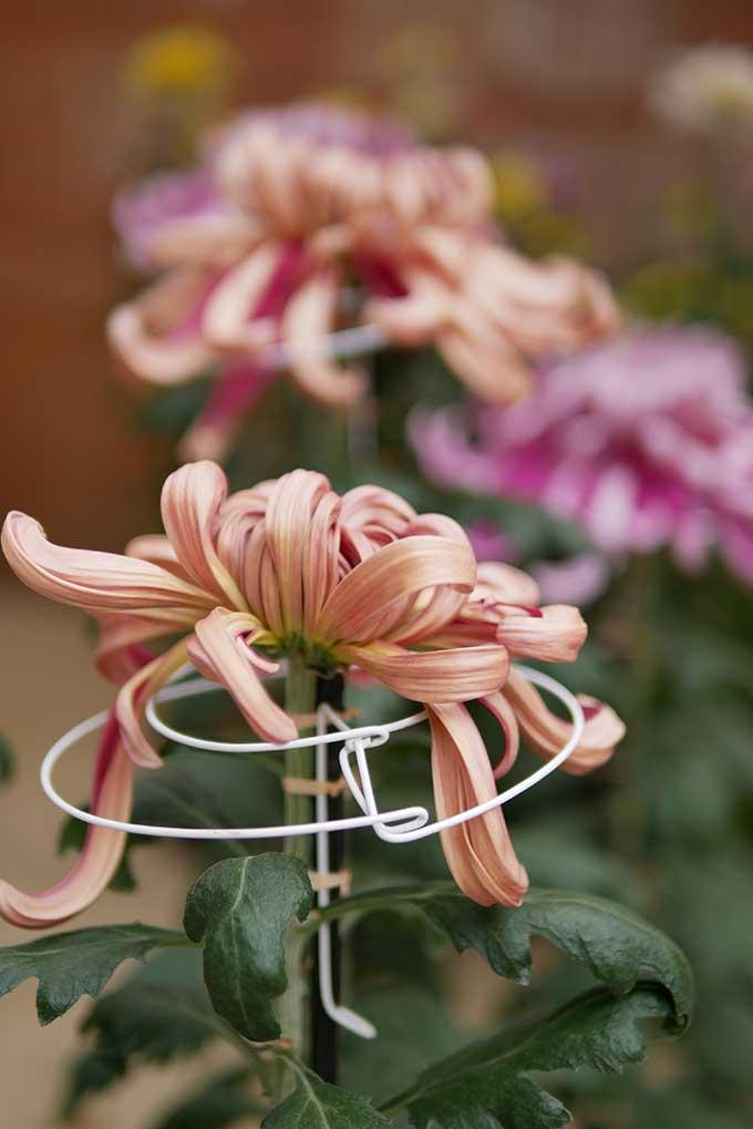 えべっさんの菊展示