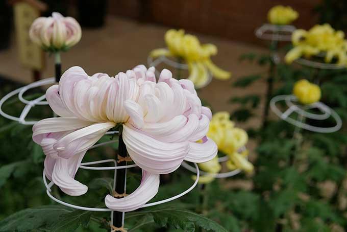 えべっさんの菊が綺麗です