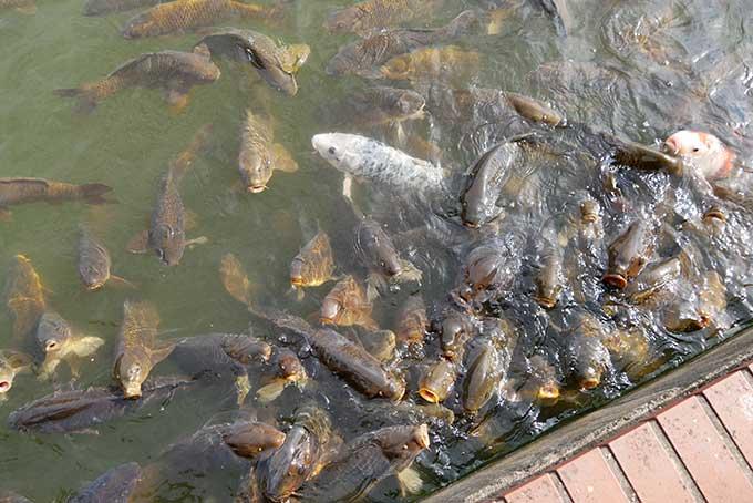 鯉が集まってきます