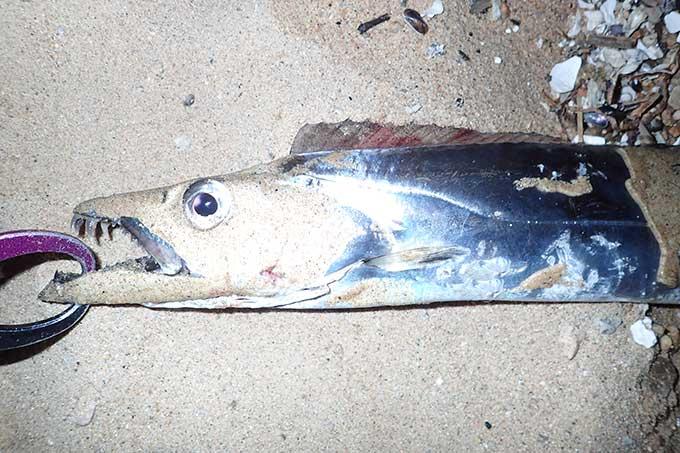 ルアーで釣れたタチウオ指4.5本サイズ