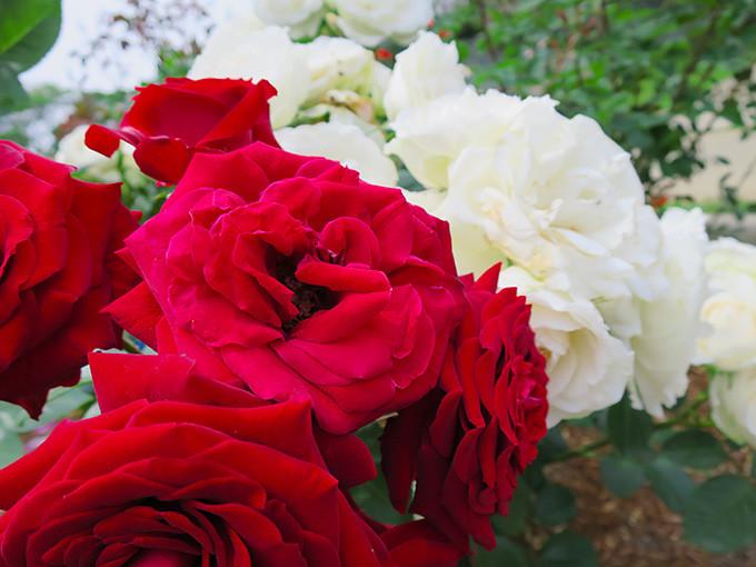 尼崎の交通公園・分区園の薔薇