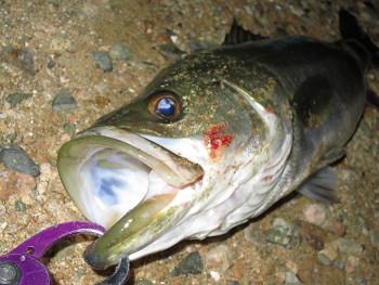短時間釣行のパラガスにて良型シーバスが釣れました!!